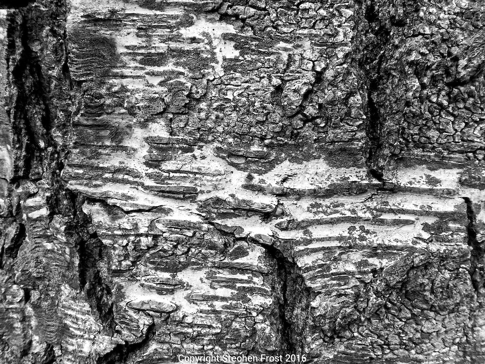 Bark from Silver Birch tree in black and white.