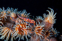 A Ghostgoby perches among Colonial Anemones<br /> <br /> Shot in Indonesia