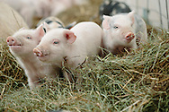 Pigglets photographed form ground level