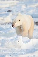 01874-12001 Polar Bear (Ursus maritimus) in winter, Churchill Wildlife Management Area, Churchill, MB Canada