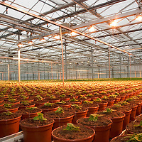 Jonge aanplant in wetslandse bloemen kwekerij...A greenhouse with young plants in the first stage of cultivation..