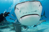 """""""Shark Wrangler"""" Carlos Estrabeau tries to direct traffic, with 3 Tiger Sharks in close proximity.<br /> <br /> Shot in Bahamas"""