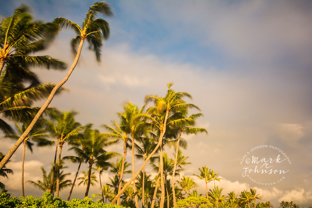 Long exposure photograph of coconut palm trees blowing in the trade winds at Kailua Beach, Oahu, Hawaii