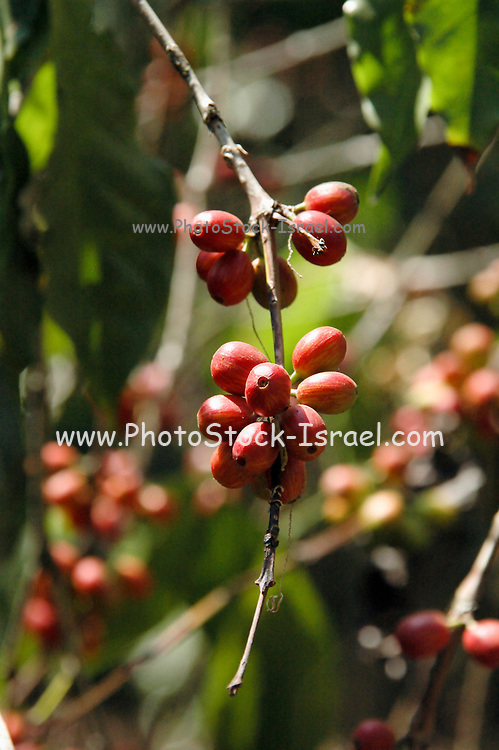 Ethiopia, Tana Lake, coffee beans on a bush