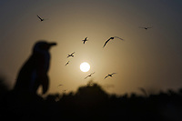 An African Penguin silhouetted at dusk as Cape Gannets fly in the background, Bird Island, Algoa Bay, South Africa