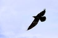 Birds-Ravens
