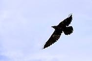 Common raven, (Corvus corax)