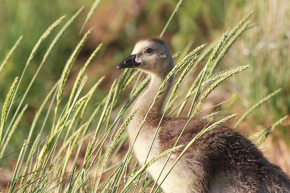 Gosling strolls among grasses at Wally Toev's Pond, Walden Pond WIldlife Habitat, Boulder, CO