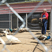 Sammy Hardin feeds some of his 250 peacocks at his farm in Plantersville.