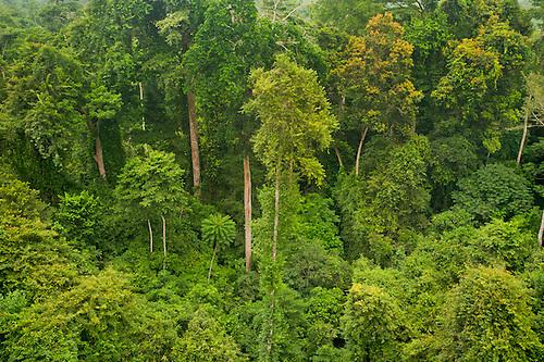 Tropical rainforest canopy Kakum National Park Ghana. & 018836-01.jpg   Frans Lanting Image Archive