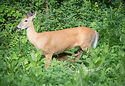 A doe white-tailed deer nurses its fawn amidst tall plants found along the forests that border Skyline Drive, part of the Shenandoah National Park in Virginia.