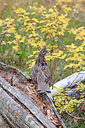 A Ruffed grouse walks on a downed log in beautiful autumn colors.