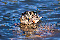 Mallard (Anas platyrhnchos) female preening in a lake.  Female:  Brown-streaked; orange bill broadly marked with black in the center; whitish tail feathers.