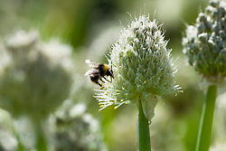 Hover fly on Welsh onions. Allium fistulosum