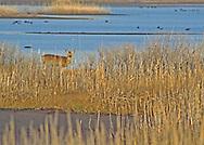 Doe walking along a fresh water pond of the Edwin B. Forsythe National Wildlife Refuge,