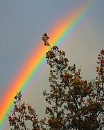 Rainbow stretches over the treetops in Sedona, AZ