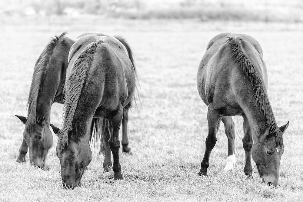 Three strong horses graze together in the early afternoon.