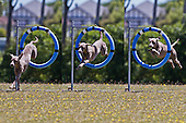 Agility Course for Southland Dog Training Club