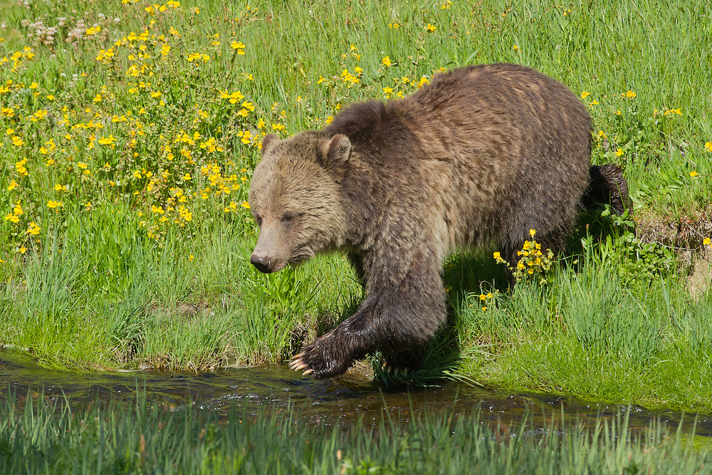 During hot weather, grizzlies often take refuge from the heat in lakes, creeks and streams. This helps to regulate their body temperature and keep them cool during the heat of midday.