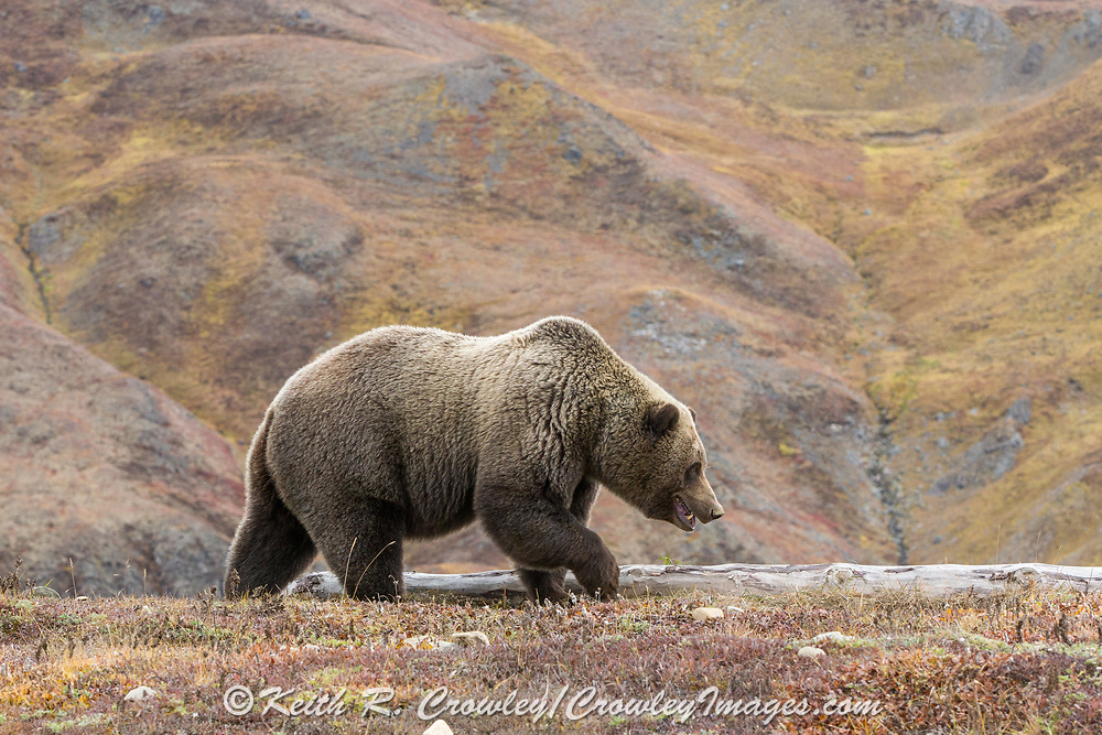 Grizzly bear in autumn sub-arctic tundra habitat