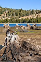 """Stump at White Rock Lake 1"" - Photograph of an old stump at White Rock Lake, California."