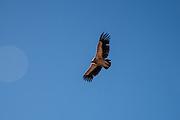 An eagle flies through the sky in Golok region, Tibet (Qinghai, China).