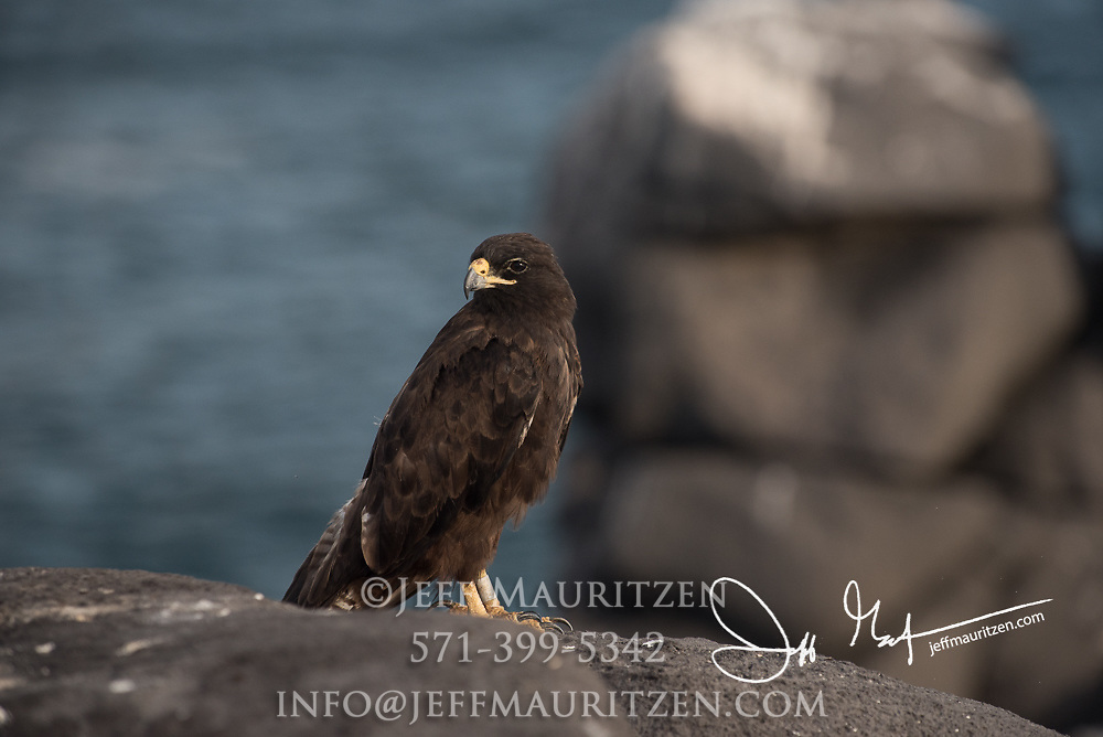 A Galapagos hawk perches on a cliff on Española island in the Galapagos archipelago of Ecuador.