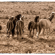 Wild Mustangs on the run in Sandoval County, New Mexico