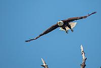 Bald eagle taking off above the Chilkat Bald Eagle Preserve near Haines Alaska.