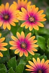 Osteospermum Compact Flower Power 'Purple Sun'