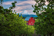 The Red Barn in Hood River, Oregon's fruit orchards with Mt. Hood in the background.