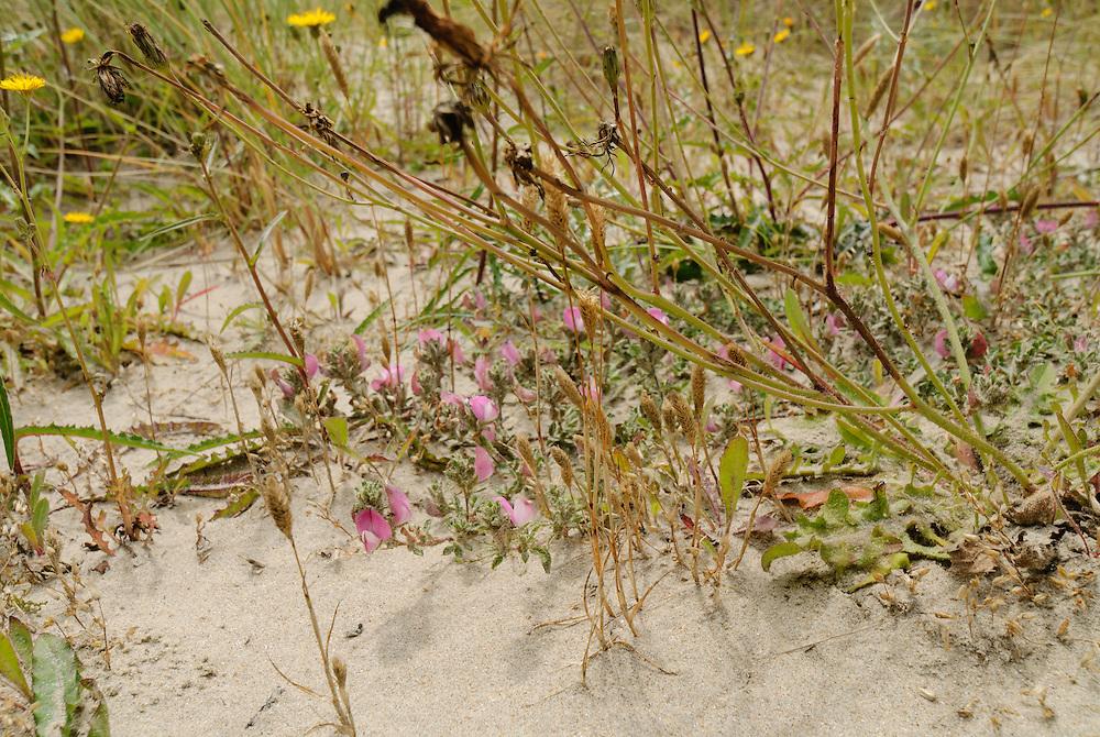 Kruipend stalkruid, Ononis repens subsp. repens