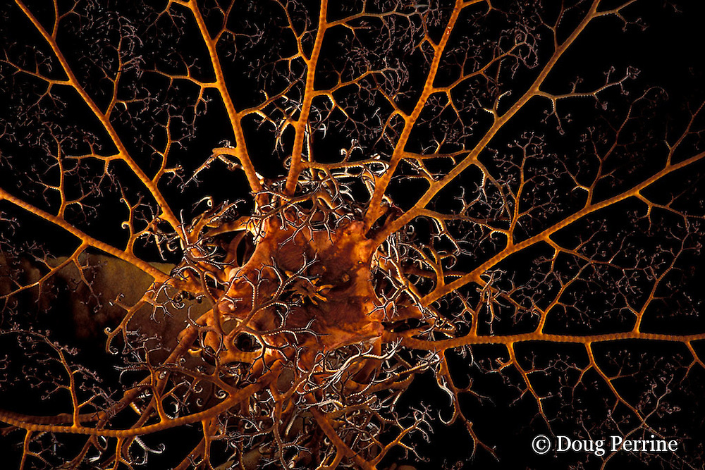 giant basket star, Astrophyton muricatum, expanded at night, Dominica  ( Eastern Caribbean Sea )
