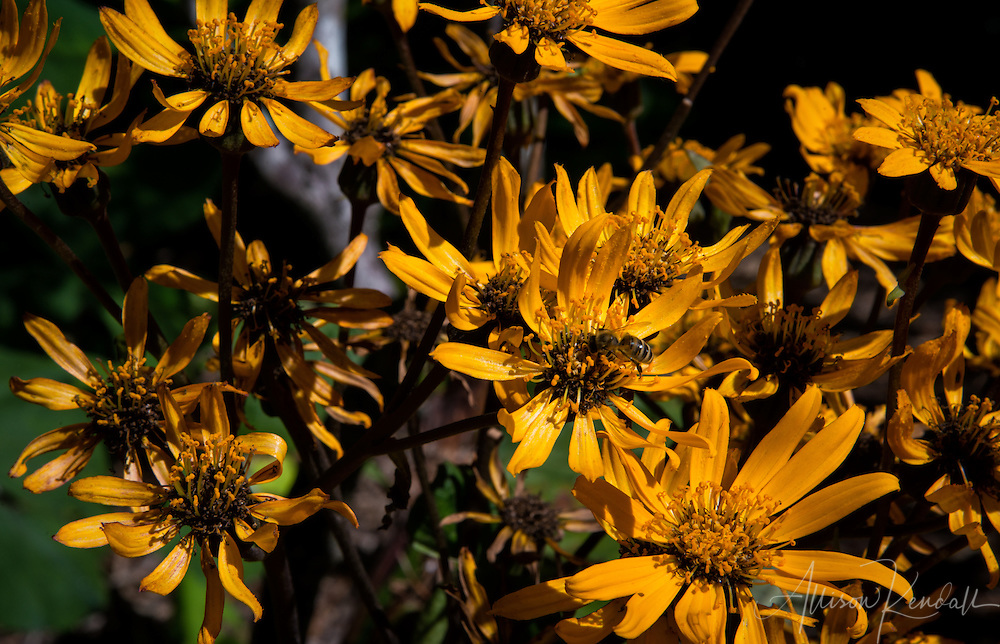 Cascading golden yellow flowers bask in the New Zealand sun