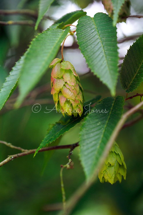 Carpinus japonica (Japanese hornbeam) foliage and catkins