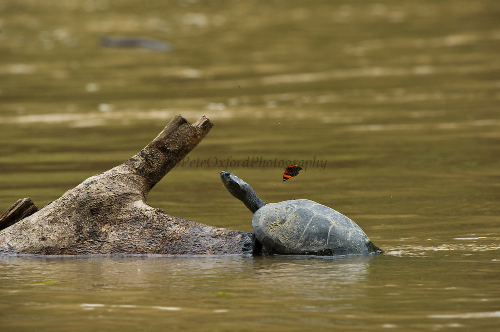 Yellow-spotted River Turtle (Podocnemis unifilis) & Butterfly<br /> Yasuni National Park, Amazon Rainforest<br /> ECUADOR. South America<br /> IUCN CONSERVATION STATUS, CITES II VULNERABLE.<br /> HABITAT & RANGE: Mainly in secondary tributaries of main rivers. Only to main rivers during nesting season when sand banks exposed. Amazonia, Llanos & Orinoco of Colombia, Venezuela, Brazil, Guianas, Ecuador, Peru & Bolivia.