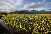 Taro field, Hanalei Valley,Kauai, Hawaii