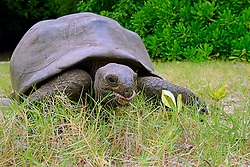 23.07.2015, Insel Curieuse, SYC, auf den Seychellen, im Bild Aldabra-Riesenschildkroeten (Geochelone gigantea), endemisch // Holiday on the Seychelles at the Insel Curieuse, Seychelles on 2015/07/23. EXPA Pictures © 2015, PhotoCredit: EXPA/ Eibner-Pressefoto/ Schulz<br /> <br /> *****ATTENTION - OUT of GER*****