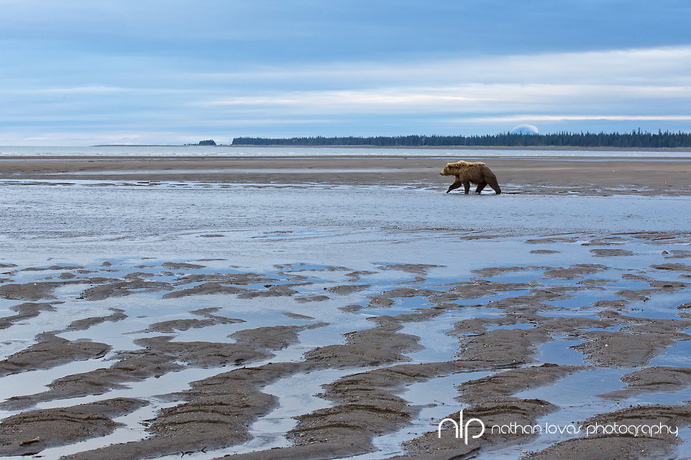 Coastal Brown Bear walking across tidal flats at sunrise;  Lake Clark NP, Alaska, in wild.