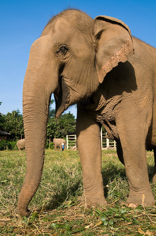 """Malai Tong, age 25, lost part of her foot to a landmine in Myanmar. Here she grazes with other elephants at the Elephant Nature Park near Chiang Mai, Thailand.  Sangduen """"Lek"""" Chailert founded the park as a sanctuary and rescue centre for elephants.  The park currently has 32 elephants sponsored and supported by volunteers from all over the world."""