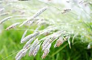 Flowering grasses bent under the weight of raindrops