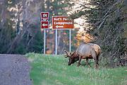 A bull elk grazes in Wisconsin's Special Elk Management Area near Clam Lake.