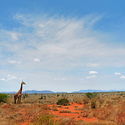 A giraffe embeded in the red colored landscape of Tsavo national park, Kenya.