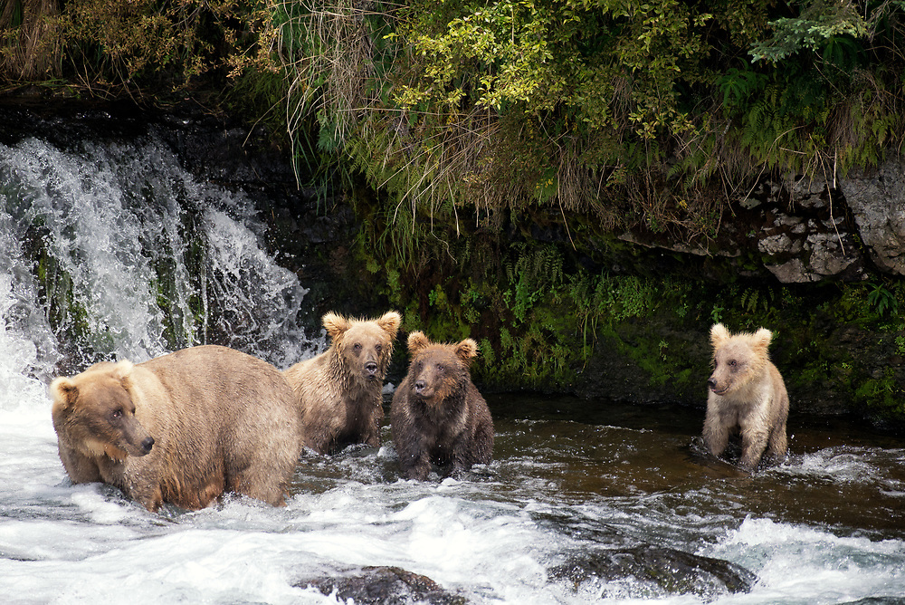 Grazer, #128, and her family, including the runt Fifi, at Brooks Falls, Katmai National Park, Alaska.