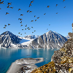 Huge colonies of little auk make nests in the steep rocky cliffs of Svalbard´s fjords. Norway.