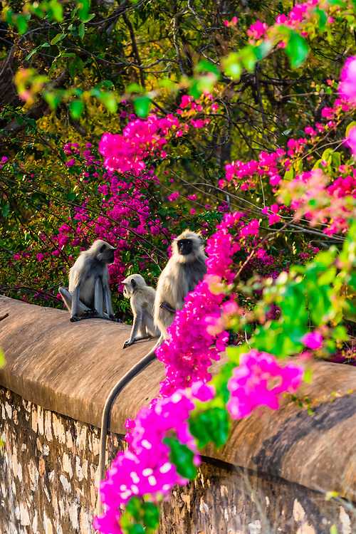 Langur monkeys near Jaipur, Rajasthan, India.
