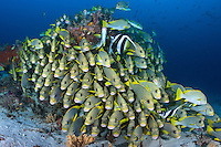 Two species of Sweetlips hang near a coral head<br /> <br /> Shot in Indonesia