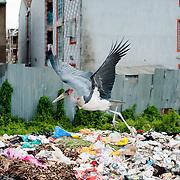 Marabou Stork bird is collecting garbage at trash in Kibera slum, Kenya
