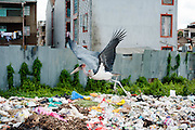 Marabou Stork bird is collecting garbage at trash in Kibera slum, Kenya