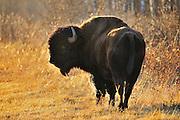 Plains bison (Bison bison) <br /> Riding Mountain National Park<br /> Manitoba<br /> Canada
